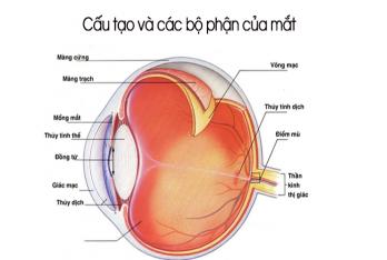 Cấu tạo và các bộ phận của mắt